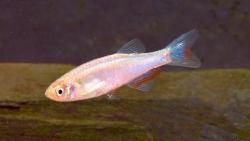 Danio albolineatus