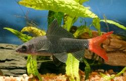 Epalzeohynchos bicolor