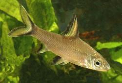 Balinocheilus melanopterus_1