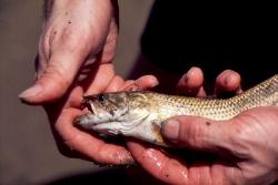Fisken har bidt sig fast i hånden