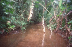 Quebrada Costodia her fangede vi Geophagus Crassilabris og  panamense