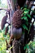 Nødder de indfødte udvinder olie af