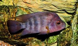 Amphilophus spec. Red Isletas