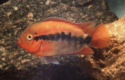 Herotilapia multispinosa red form_1