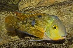 Hypsohys nicaraguensis