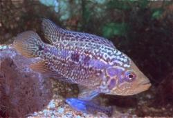 Parachromis loiselli