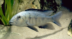 Forssochromis rostratus