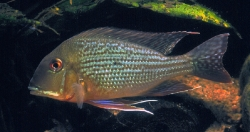 Geophagus altifrons
