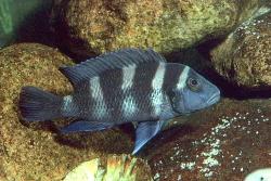 Neolamprologus tretochepalus