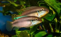 Enimatochromis lucanusi