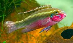 Pelvicachromis sacrimontis han