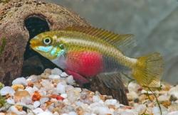 Pelvicachromis sacrimontis hun