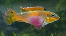 Pelvicachromis taeniatus Wouri hun