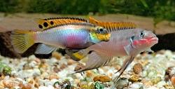 Pelvicachromis taeniatus par Nigeria