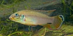 Pelvicachromis taeniatus Wouri han