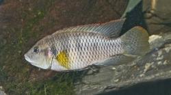 Benitochromis batesii Ntem han