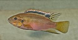 Benitichromis  nigrodorsalis