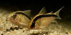 Corydoras acuatus
