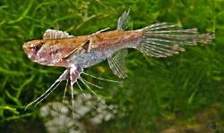 Pantodon bucholzi  Sommerfuglfisk