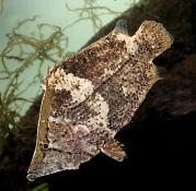 Monocirrhus polyacantus  Bladfisk