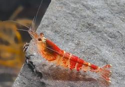 Caradina catonensis