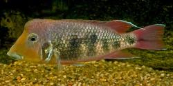 Geophagus crassilabris Costodia variant