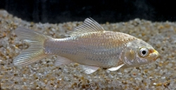 Guldfisk hvid