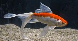 Guldfisk Sarasa-Sommerfuglehale