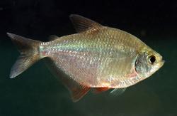 Brachycalcinus spec.