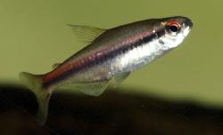 Hyphessobrycon vilmae