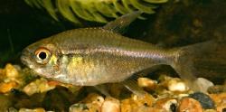 Tetragonopterinae spec.