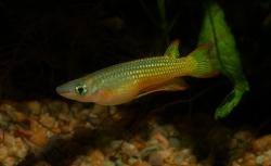 Aploseilus lineayus gold