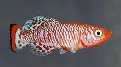 Nothobranchius rachovii