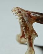 Caquetaia myersi overkæbe