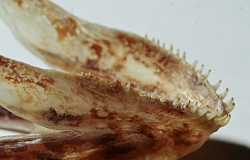Caquetaia myersi underkæbe