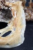 Crenicichla saxatilis tandkammen fra gællelågets kant