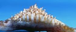 Hoplarchus psittacus nedre svælgtænder