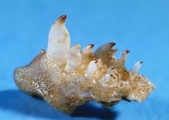 Hoplarchus psittacus øvre svælgtænder