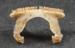 Labeotropheus fuelleborni underkæbe