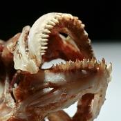 Rocio octofasciatum