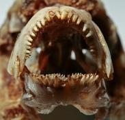 Rocio octofasciata