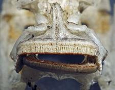Tropheus moorii