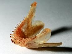 Vieja maculicauda underkæbe