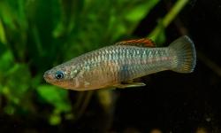 Brachyhaphis roseni 1