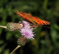 A.Butterfly Sommerfugle