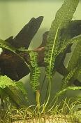 Aponegeton boivinianus