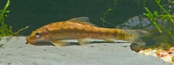 Gyrinocheilus aymoneri