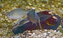 Rhodeus amarus bitterling