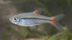 Rasbora rubrodorsalis