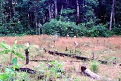 Rismark inde midt i Junglen